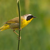 common yellowthroat boundary bay bc