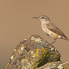 rock wren moses lake washington