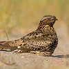 common nighthawk victoria bc