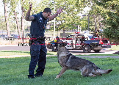 072816  Wesley Bunnell | Staff  New Britain Police Ofc. Ray Ouellette rewards Pup after successfully finding evidence in the grass during a demonstration.  Ofc. Ouellette and Pup recently placed second in the state's police canine competition.