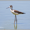 Juvenile Black Neck Stilt