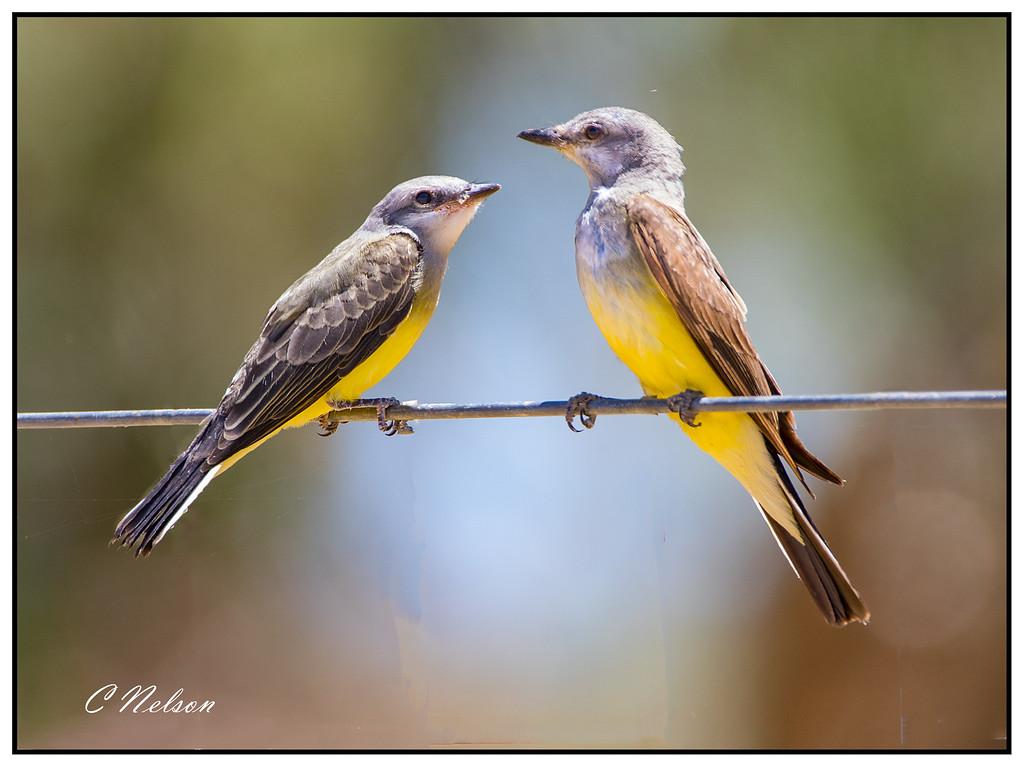 Adult and Juvenile Western Kingbird