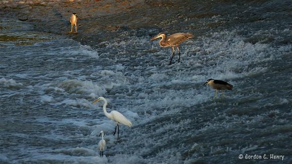 black-crowned night herons, great blue heron, great egret, snowy egret