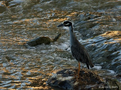yellow-crowned night heron and turtle