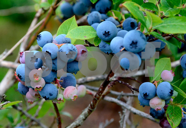 7/30/2014 Mike Orazzi   Staff Blueberries at Litchfield Hills Blueberry Farm in Plymouth on Wednesday afternoon.