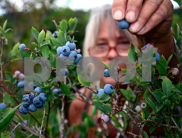 7/30/2014 Mike Orazzi   Staff Christina Belonick and her grandson Devon Krol while picking blueberries at Litchfield Hills Blueberry Farm in Plymouth on Wednesday afternoon.