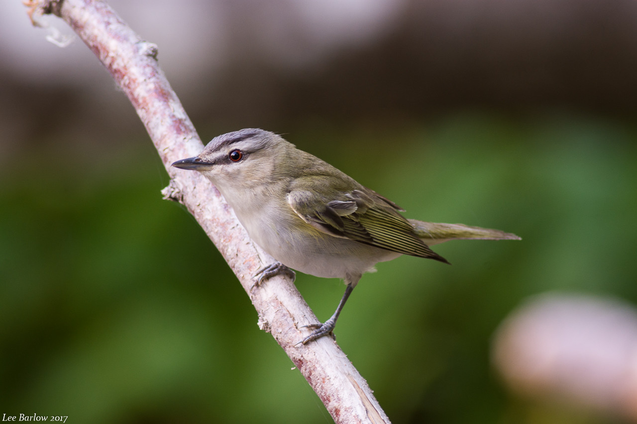 red -eyed vireo Vancouver island