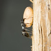 carpenter ant female worker