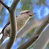 Blue-winged Kookaburra Scouting for Breakfast.