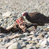 turkey vulture eating..well another turkey vulture vancouver island