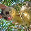 Brushtail Possum 3.