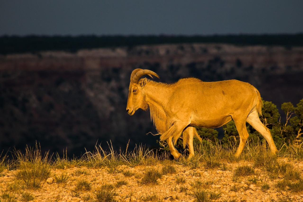 Nuclear Aoudad Sheep at Sunset