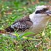 Kookaburra with Catch.