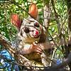 Smiling Brushtail Possum.