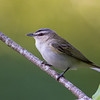 red-eyed vireo  Vancouver island