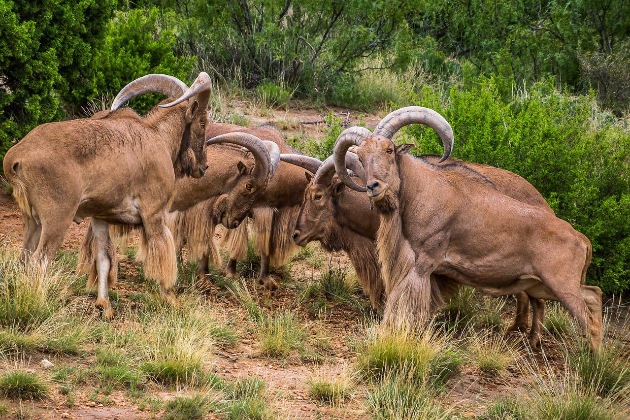 Aoudad Sheep Scrum at Palo Duro Canyon