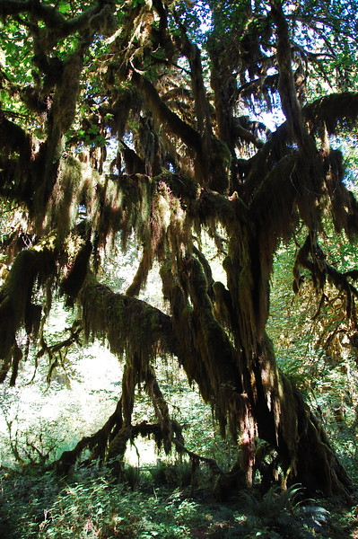 """Olympic NP has several different biospheres.  On the west side, near the ocean, is what is essentially a rain forest.  The """"Hall of Moss"""" is a short hike through a portion of it."""