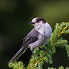gray jay mount washington vancouver island