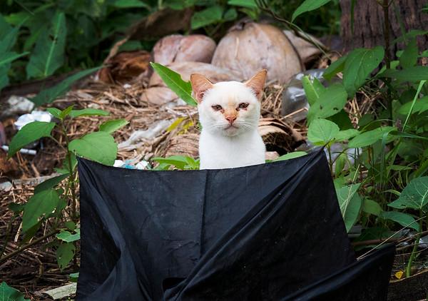 amphawa cat