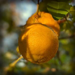 """""""Bush Lemons by this morning's light."""""""
