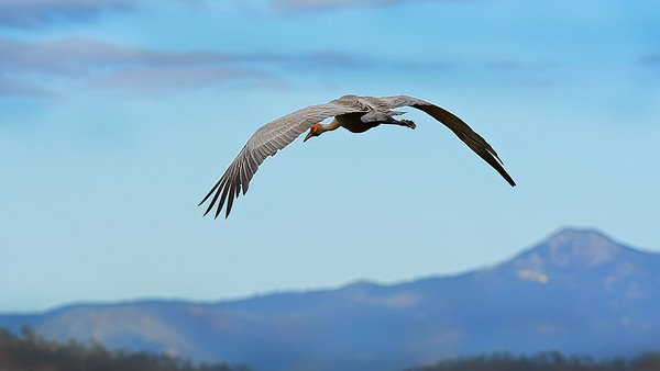 Brolga in Flight Over The Long Swamp.