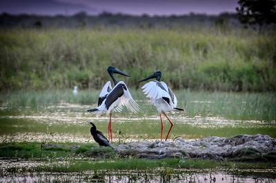 """Dancing Jabirus - Townsville Town Common Environmental Park."""