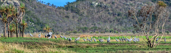 Brolgas, looking towards Many Peaks Range,  Townsville Common.