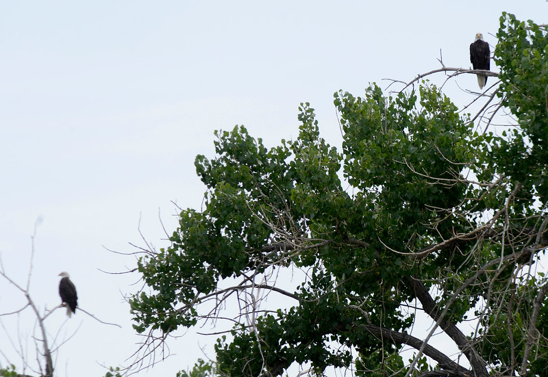 Boulder County Bald Eagles