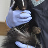 Wildlife rehabilitator Jane Newhouse of Chelmsford is taking care of a mother skunk who was caught in a leghold trap, her six babies, and two other baby skunks at Newhouse that she adopted before her own six were found. Newhouse holds the mother skunk.  SUN/Julia Malakie