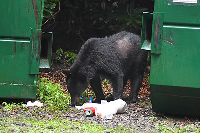 All food and trash items were in a locked dumpster beofre the bear decided to break into the dumpster.