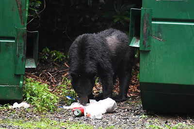 Yes, the bear does appear to have a loss of hair. Some quick research shows that there is a rising level of mange in Black Bears. I plan to reach out to officials to discuss.
