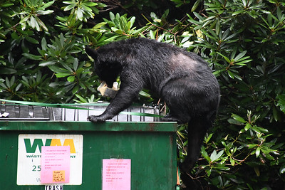Container of macaroni salad firmly in its jaws, the bear makes its way back down the side of the dumpster.