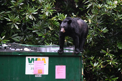 After initially bending the lid up, the bear just bent it fully inward to give it ease of access to the food in the dumpster.