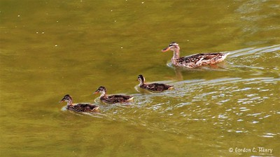 Momma Mallard and three baby ducks growing up