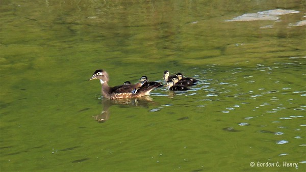 Momma Wood Duck and ducklings