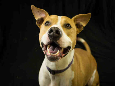 Diesel is a 4-year-old male pit bull terrier who is available for adoption. (Contributed photo)