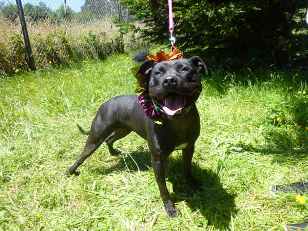 Sassy is the current longest resident of the shelter.  She is a 3-year-old pit bull terrier who is available for adoption. (Contributed photo)