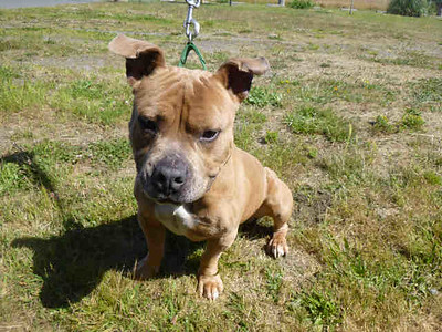 Turtle is a 3-year-old pit bull terrier. He is seeking an only dog foster home. (Contributed photo)