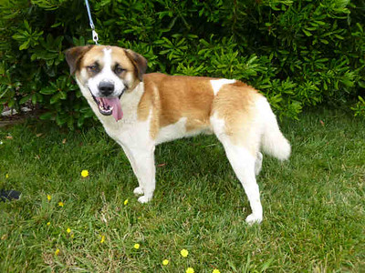 Owen is a 2-year-old St. Bernard and needs a home to recover from a heartworm treatment. (Contributed photo)