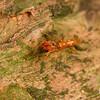 Male Myrmarachne ichneumon ant-mimic jumping spider