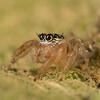 Thyene sp. jumping spider