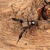 Male Harmochirus luculentis jumping spider
