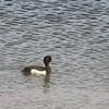 Tufted Duck (Aythya fuligula), Leeds Castle