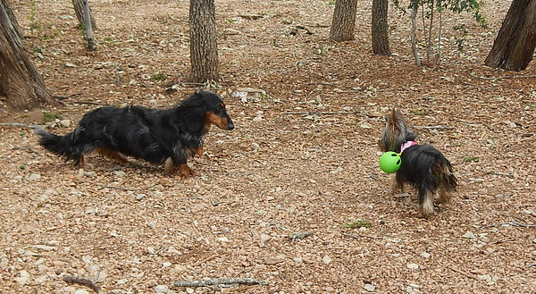 Cowboy C and Lola P have a showdown of the big dogs