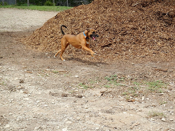 Kit-Kat is flying around the mulch pile