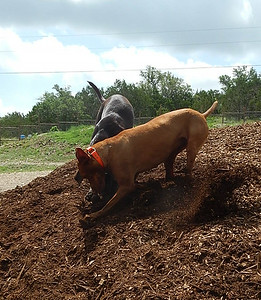 Teak W and Hank J digging for all they are worth