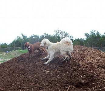 Lucy V and Sherlock Bones rasslin on the mulch pile