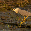 black-crowned-night heron moses lake washington