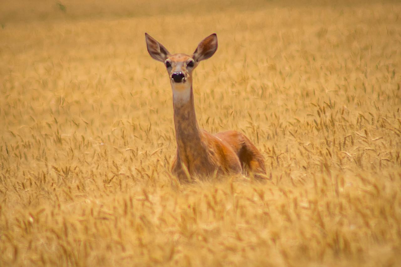 Deer In Wheat Field