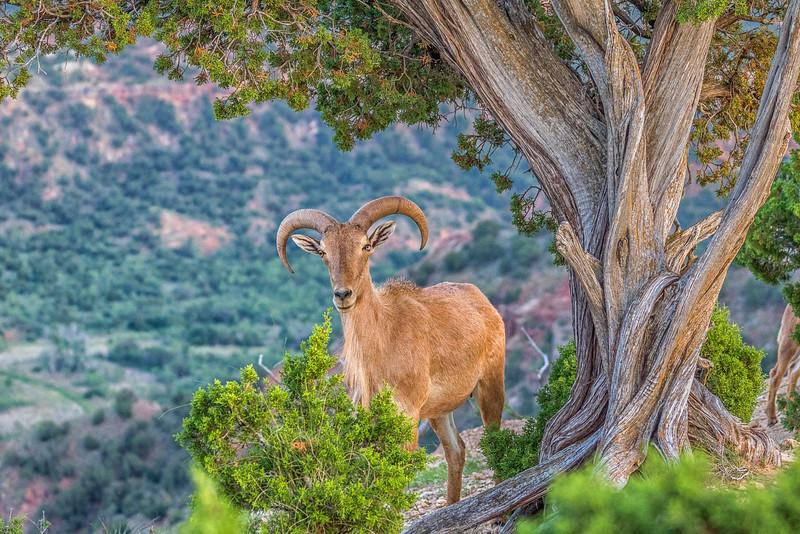 Aoudad Sheep, Palo Duro Canyon